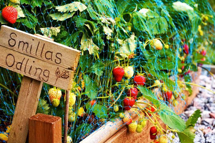 jordgubbar-favoriter-odling