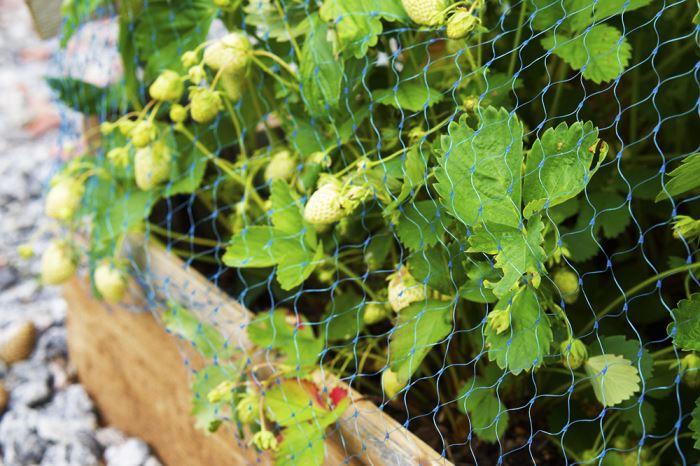 tradgarden-jordgubbar