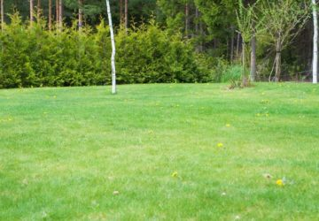 Trädgården maskrosor