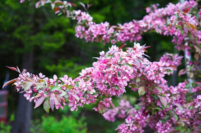 körsbärsträd i trädgården