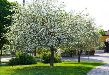 Blommande träd och buskar på min promenadväg