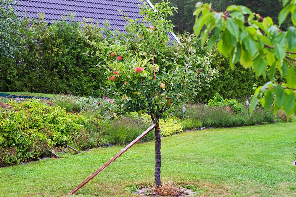 Äppelträd i trädgården