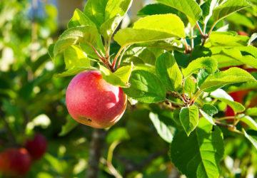 Äppelskörd