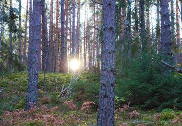 skogen i eftermiddagssol