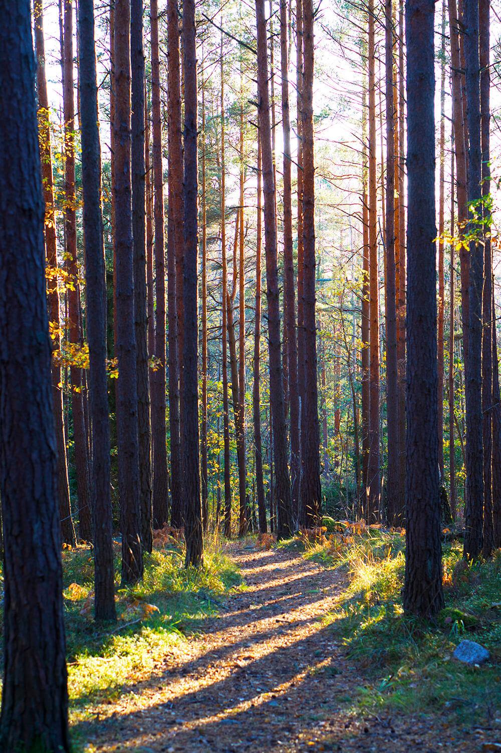 skog i eftermiddagsljus