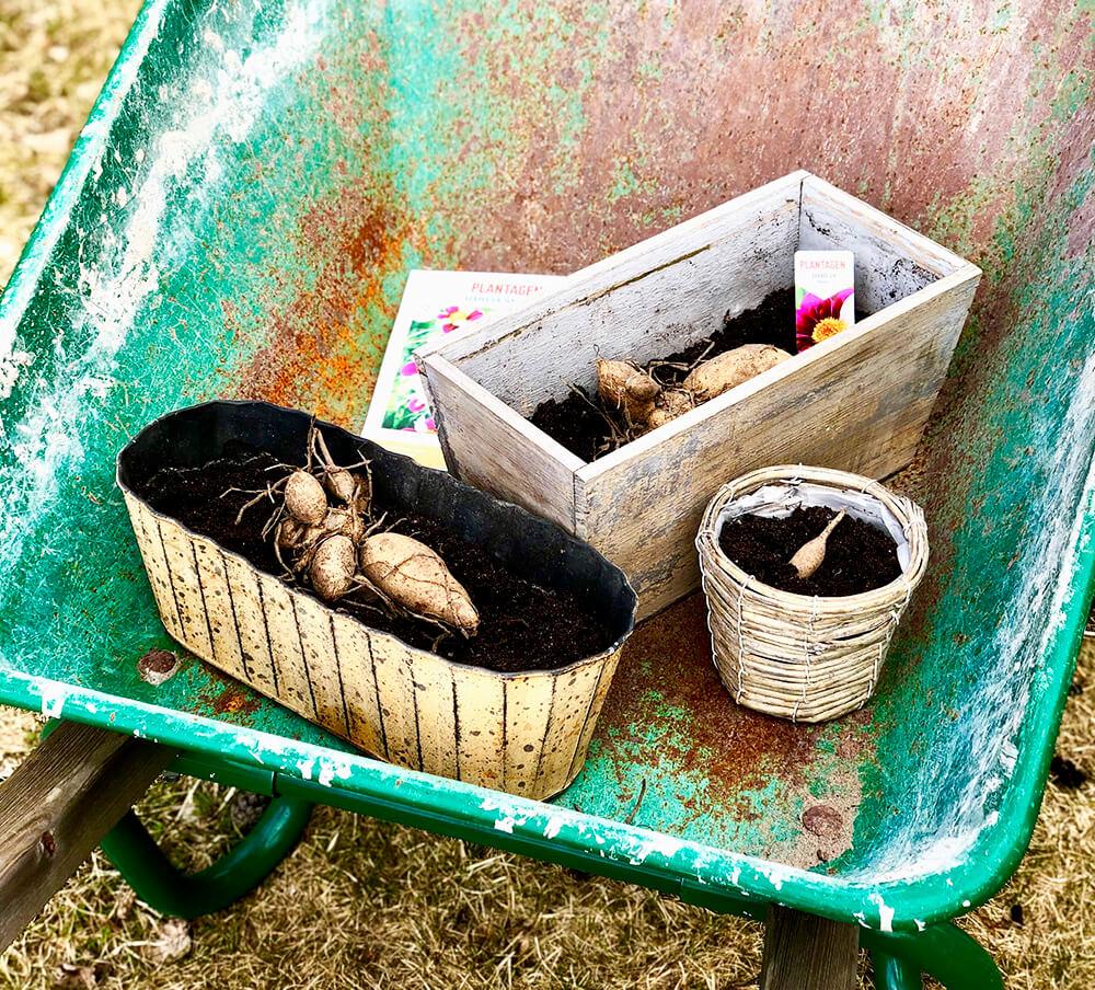 Förkultivera dahlior - ett inlägg om hur jag förodlade mina dahlior