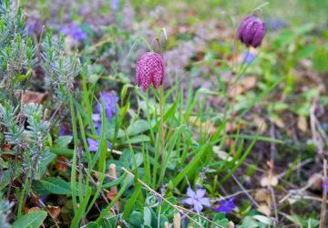 Vårt paradis trädgården - Kungsängsliljor