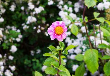 Trädgården i juni - dahlia