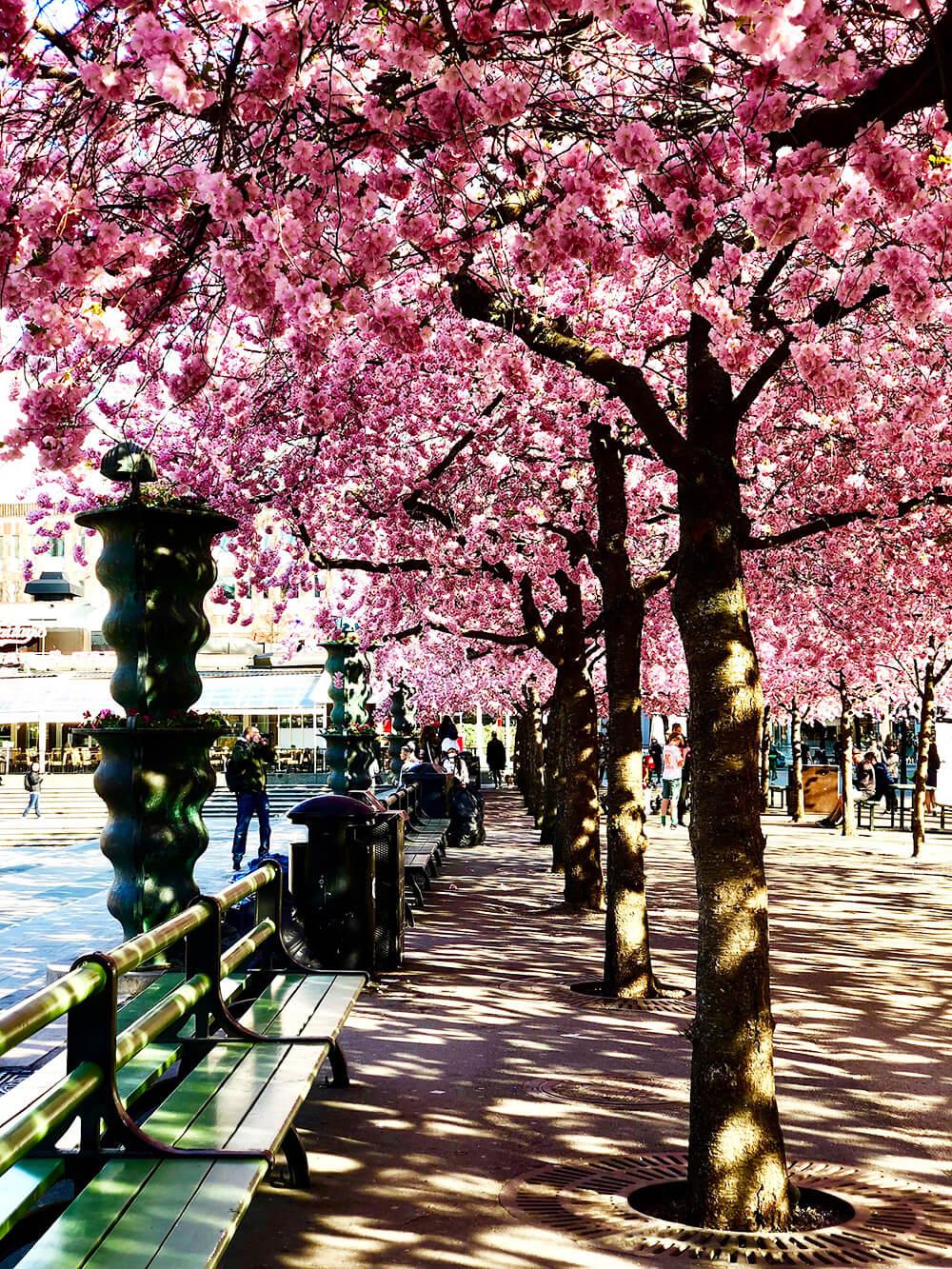 Körsbärsträden i Kungsträdgården