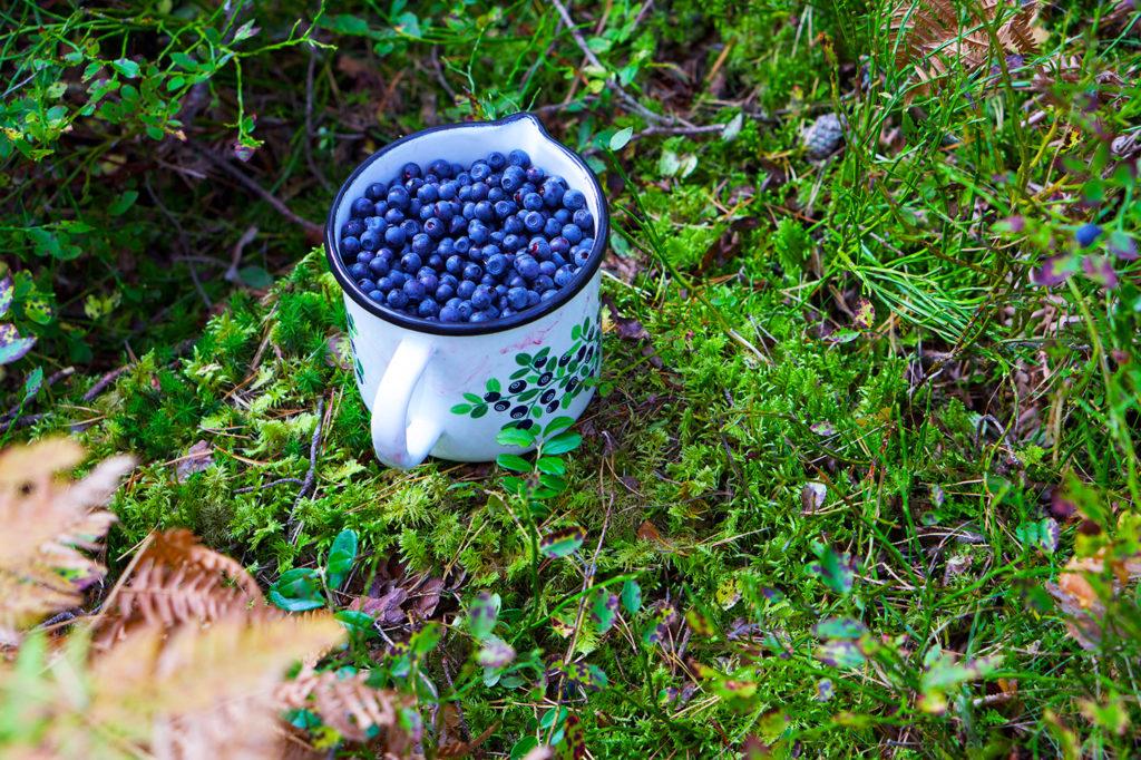 Årets sista blåbärsplock