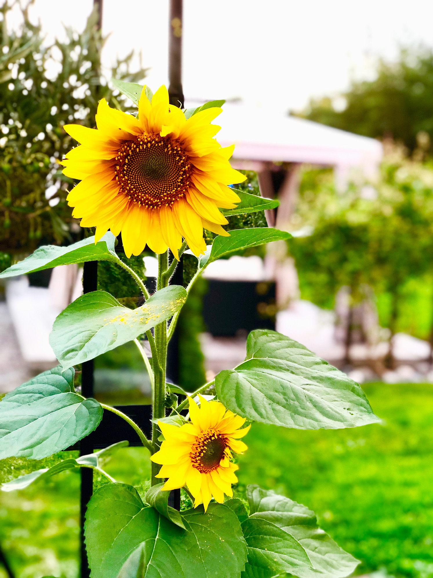 Solrosor i växthuset