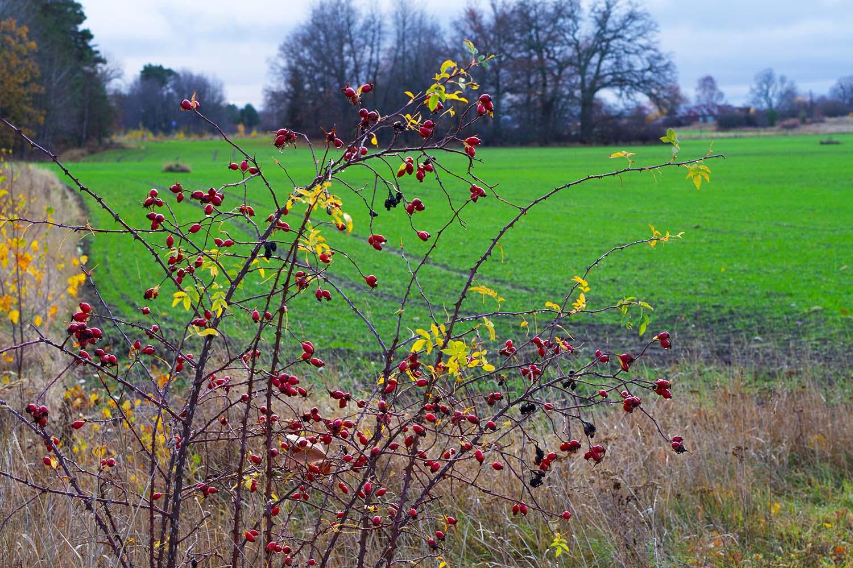 Årets längsta dag - nyponbuske ute i oktober
