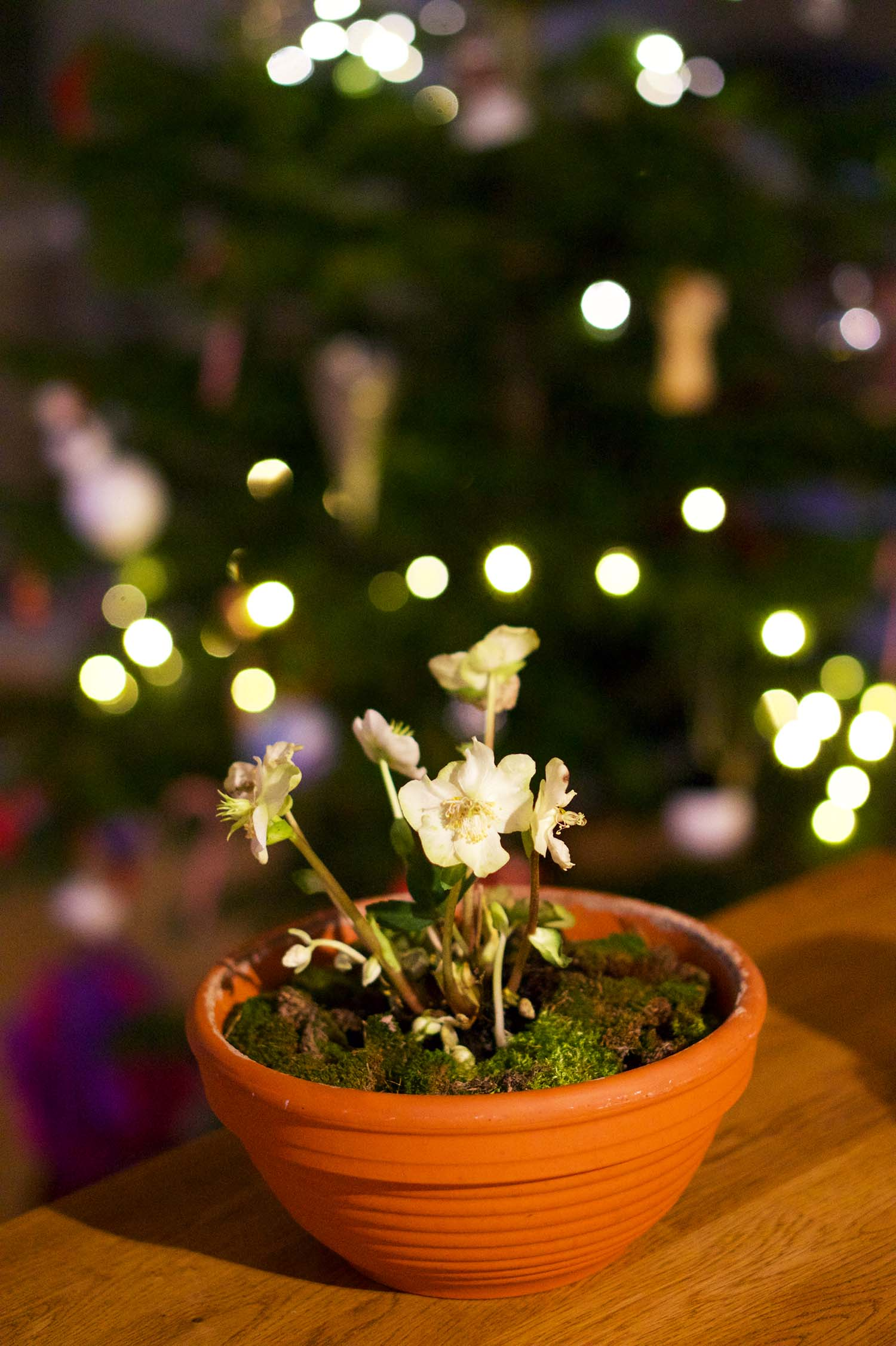 Julros - julens finaste blomma