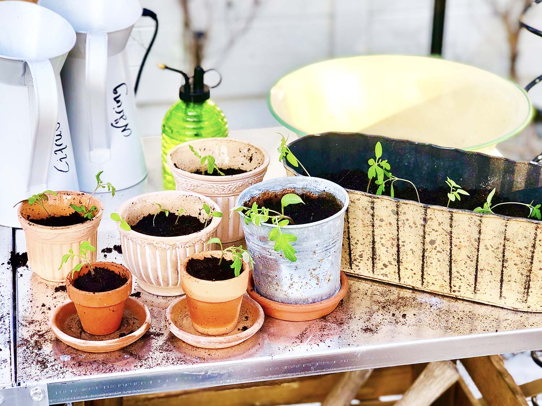 förodla tomatplantor