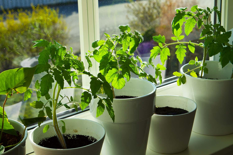 Odla tomatplantor