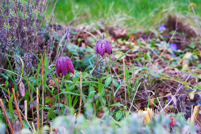 Kungsängsliljor - trädgårdsfix första helgen i maj