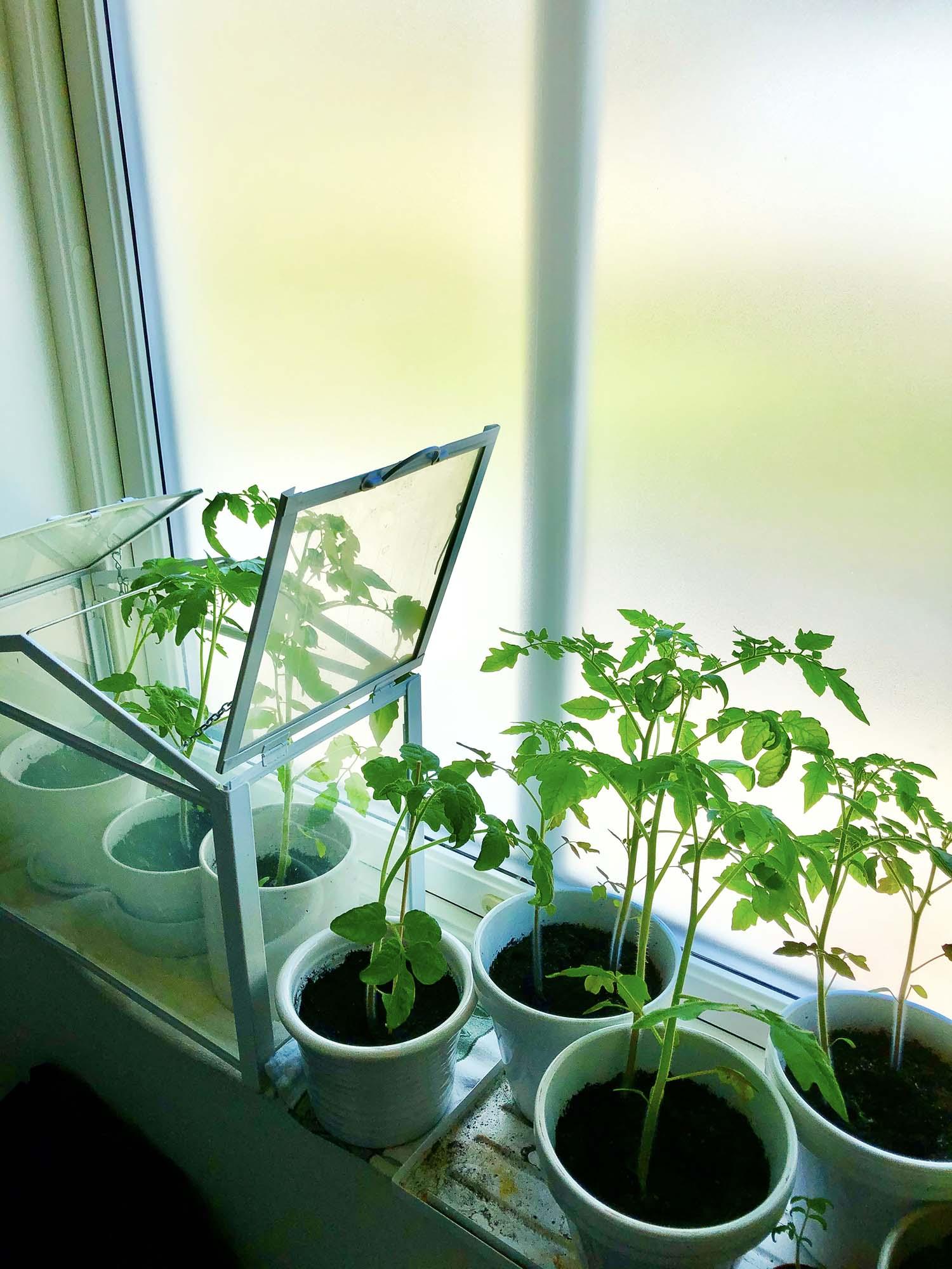 Tomatplantor - trädgårdsfix första helgen i maj