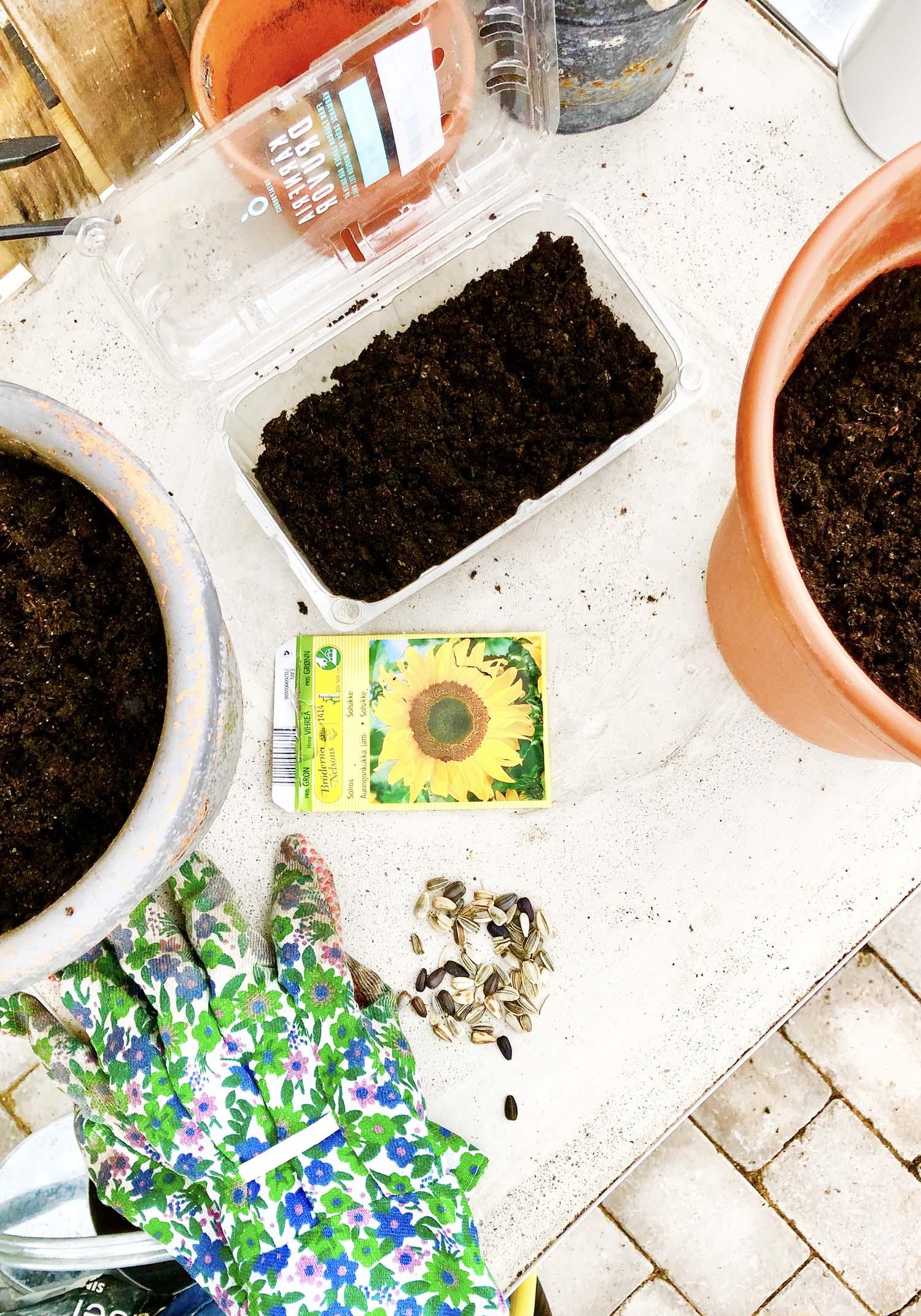 Fröså solrosor - trädgårdsfix första helgen i maj