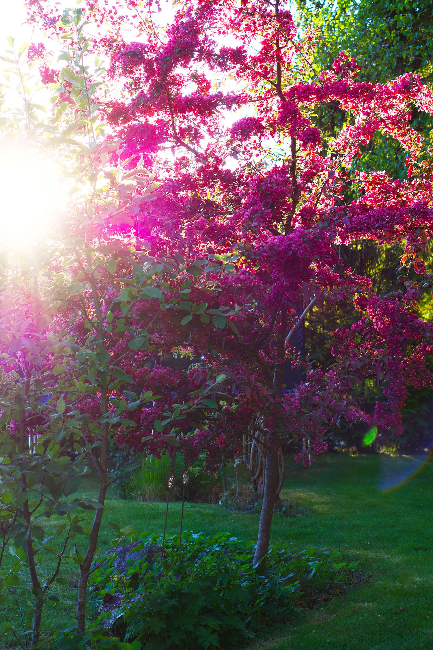 Purpurapel hemma hos oss