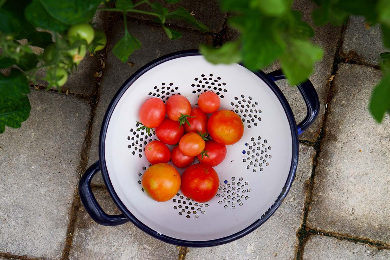 Garden Life / Trädgårdsliv - tomater