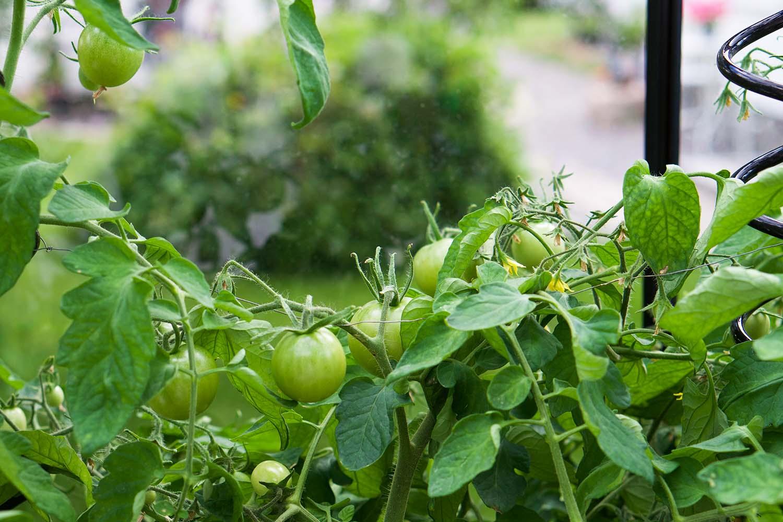 Våra tomatplantor - sommaren 2020