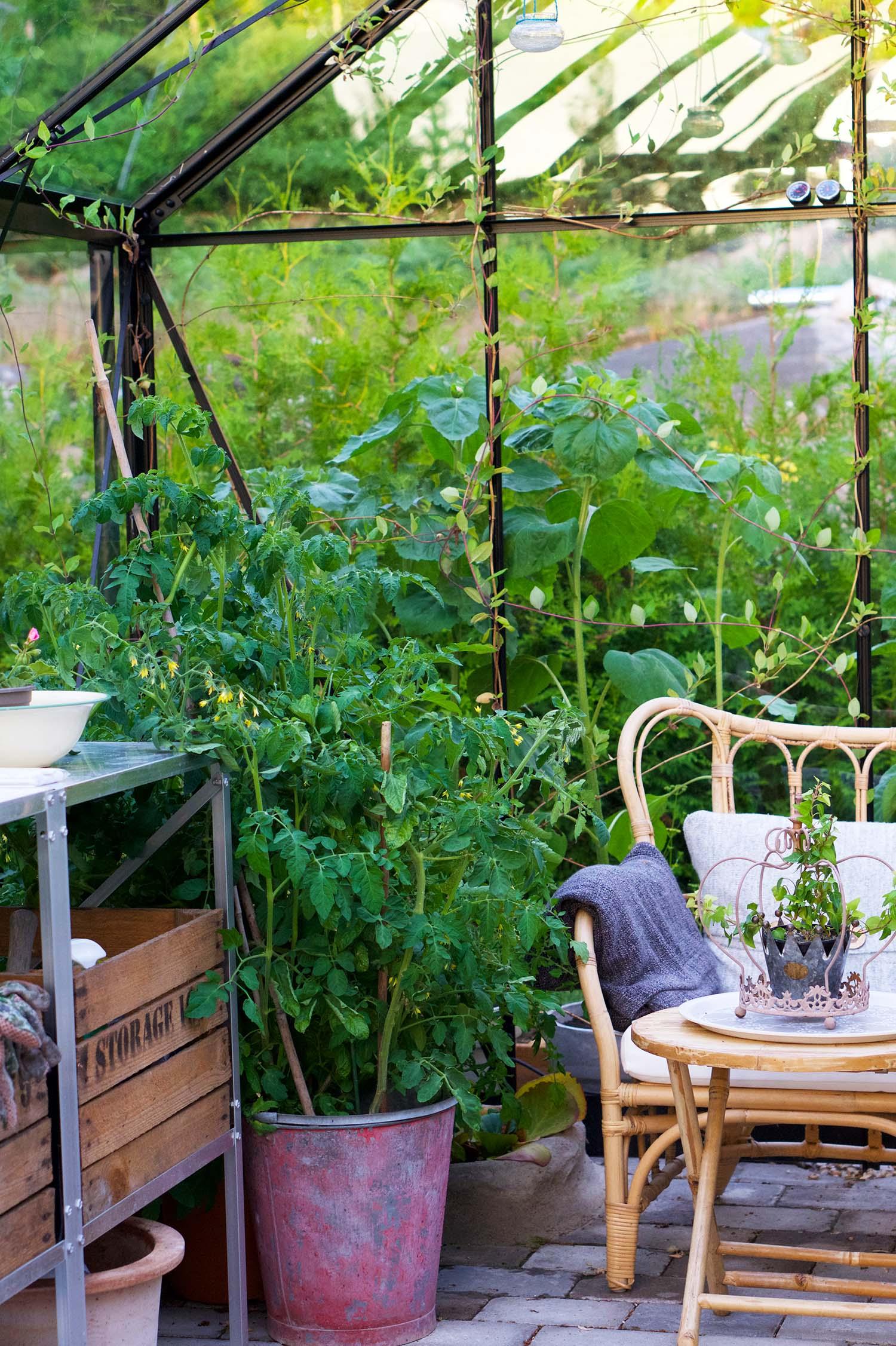 Från frö till tomatplanta
