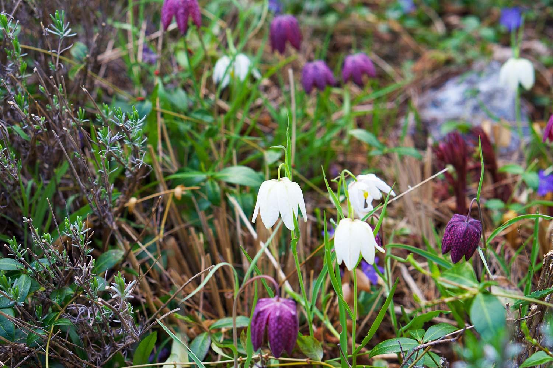 Trädgårdsnjutning i maj - Kungsängsliljor