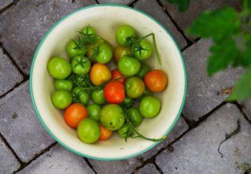 Så får du gröna tomater att mogna