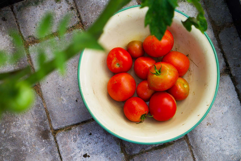 Egenodlade tomater i vårt växthus